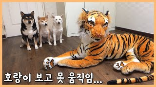 호랑이 본 강아지 반응 Dog Tiger
