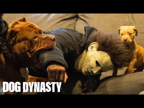 Home Invasion! Hulk Takes Down An Armed Intruder | DOG DYNASTY
