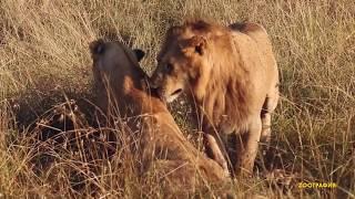 Вот как ЭТО делают львы!