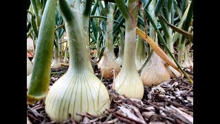 How to grow Onions. Onion seeds or Onion set's. Which are best ? Grow Vegetables