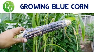How to grow Blue Maize corn - Healthy & Delicious!