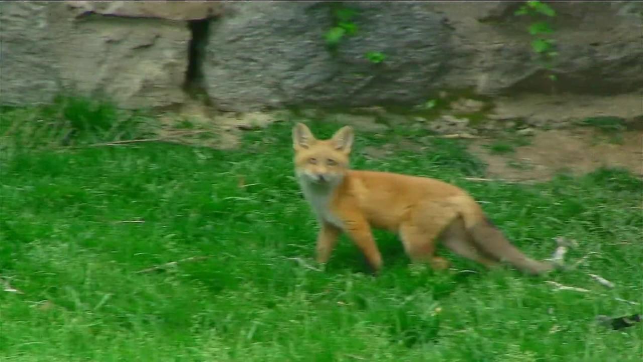 Backyard Fox (Live) #redfox, #nature, #animals, # ...