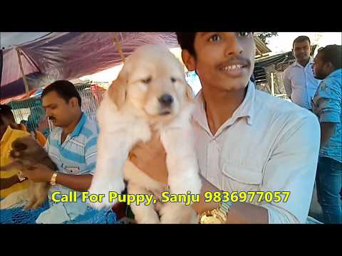Best Quality Golden Retriever Puppy Now At Galiff Street