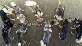 GoPro: 17 Huskies