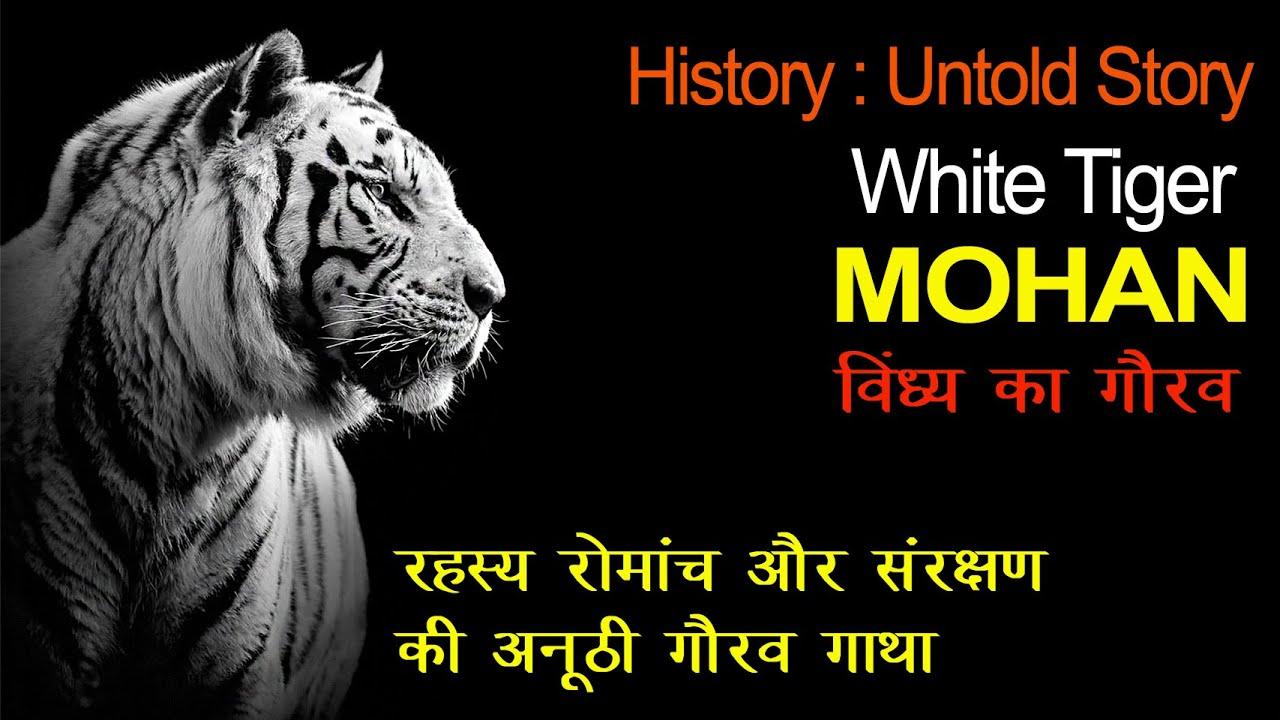 White Tiger- Mohan: Untold Story-Mukundpur Safari Satna