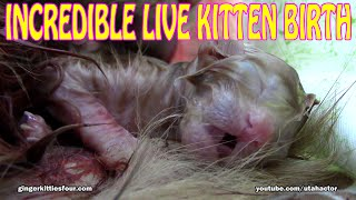 INCREDIBLE Live Birth of Meowing Ginger Kitten