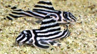 НЕОБЫЧНЫЕ акариумные РЫБКИ - САМЫЕ необычные АКВАРИУМНЫЕ рыбки(10 необычных аквариумных рыб, которых вы можете завести дома. В мире, безусловно еще больше чудных рыб, но..., 2016-06-23T12:04:13.000Z)