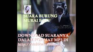 Suara burung murai batu omkicau.com - Download format MP3