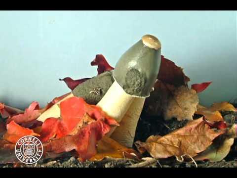 Phallus ravenelii, stinkhorn mushroom