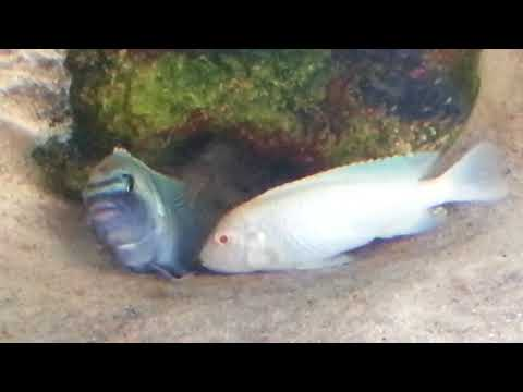 Albino Cobalt Blue Zebra Cichlids Breeding