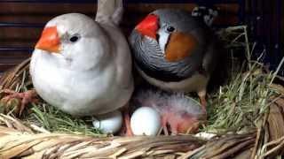 Наши птенцы амадины