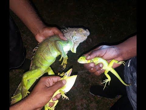 Catching iguanas at night! Florida iguana Hunting