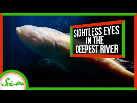 The Strange Blind Fish Of The Lower Congo River