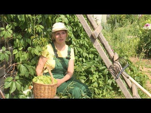 «Ленивый» огород: вологжанка