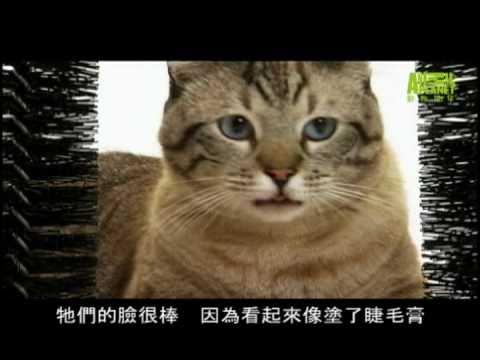 貓咪101---埃及貓