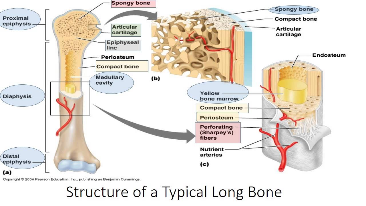 Bone Structure and Function (Human Anatomy) - YouTube