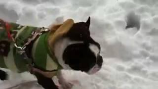 ボストンテリア うに の雪あそび.
