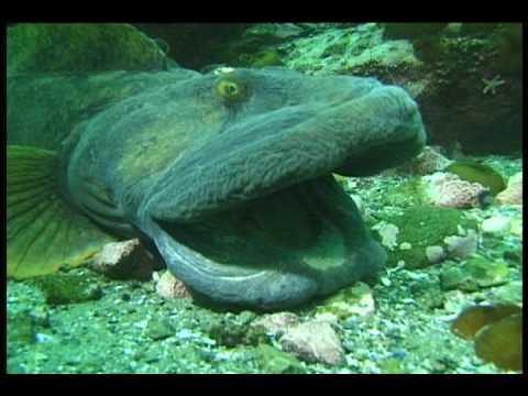 Marine Life  | Eelpouts