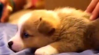 Welsh Corgi: Big Spirit In Small Body Watchdogs Puppies