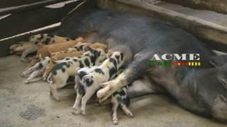 DECOUVERTE D UN JEUNE CAMEROUNAIS QUI S AUTO EMPLOI A TRAVERS L ELEVAGE DES PORC ET L AGRICULTURE A
