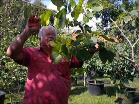 Pruning Part 2 Richard Wilson Excalibur Fruit Trees Rare Fruit Council