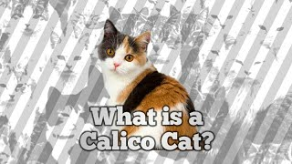 What is a Calico?
