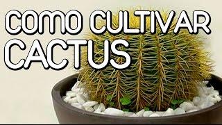 como cuidar los cactus y suculentas