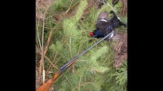 Охота на тетерева для новичков.hunting for a black grouse