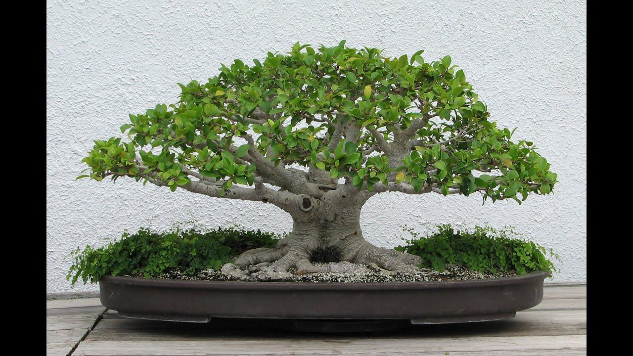 Golden Gate Ficus Bonsai Tree Youtube
