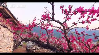 Peach flowers are in full bloom in Lianping, S China's Guangdong.