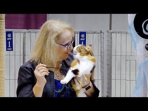 CFA International Cat Show 2018 - Norwegian Forest kitten class judging