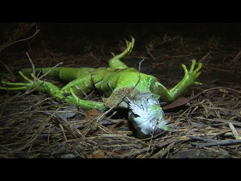 Dead or alive? Local 10 News searches for frozen iguanas