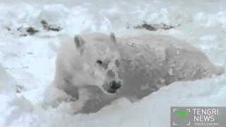 Белый медведь радуется снегу в американском зоопарке