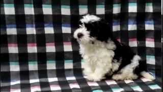 Havanese Maltese Puppies For Sale