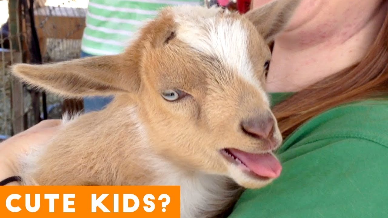 Cutest Baby Goat Compilation Ever Funny Pet Videos Youtube