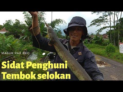 Mancing/ngurek Sidat | Strike Sidat (Lubang) Besar di pondasi selokan kecil | Jhono TV