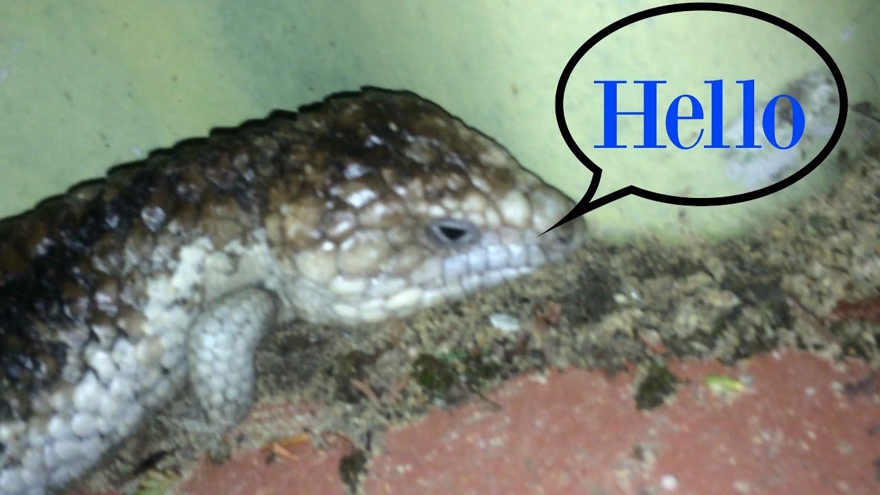 Found A BobTail Lizard In My Back Yard!!! - YouTube