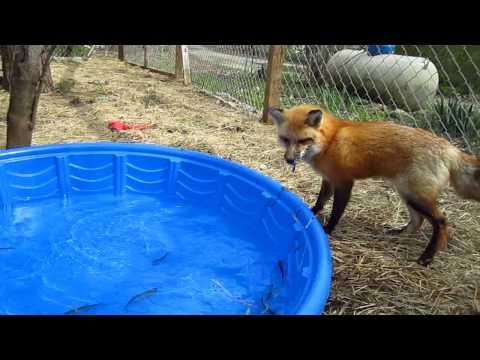 Fox and the Feesh - Happy Birthday RonRon