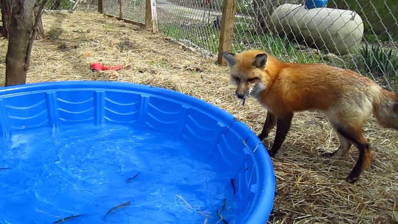 Fox And The Feesh Happy Birthday Ronron Youtube