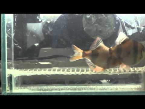 Как скрещиваются рыбы