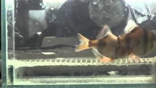 А вы видели как размножаются рыбы !(КАК ЗАРАБОТАТЬ В ИНТЕРНЕТЕ ? РЕГИСТРТРУЙСЯ И САМ УЗНАЕШЬ-http://join.air.io/onlinerabota Как сделать сетку на дно аквариум..., 2014-11-04T14:04:39.000Z)