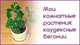 Мои комнатные растения:  каудексные бегонии(Сегодня я покажу каудексные бегонии из своей коллекции и расскажу, как за ними ухаживать. Если у вас тоже..., 2015-09-26T16:08:32.000Z)