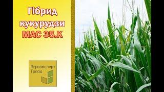 Кукуруза Мас 35 К  🌽 - описание гибрида 🌽, семена в Украине