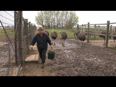 Ostrich Farmer Helen Wall, Alden, Iowa