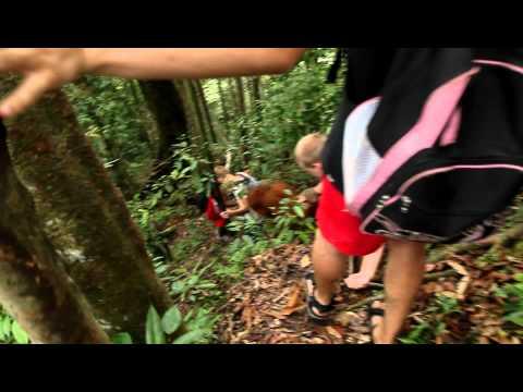 Orangutan Attack, Sumatra Indonesia