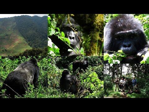 31-33. ΟΥΓΚΑΝΤΑ, ΚΟΝΓΚΟ,ΡΟΥΑΝΤΑ - UGANDA, CONGO: gorilla, beringei, Bwindi, Virunga (video)