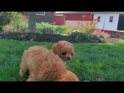 Cavapoo Puppies For Sale!