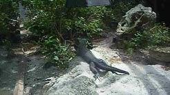 MONSTER IGUANA SUPER RARE Cocoa Beach FL FLORIDA Brevard Zoo