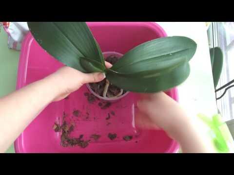 Молодые корни орхидеи растут вверх, направляем в горшок (часть 1)