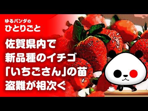 2020年5月31日 ひとりごと「佐賀県産新品種イチゴ「いちごさん」の苗」